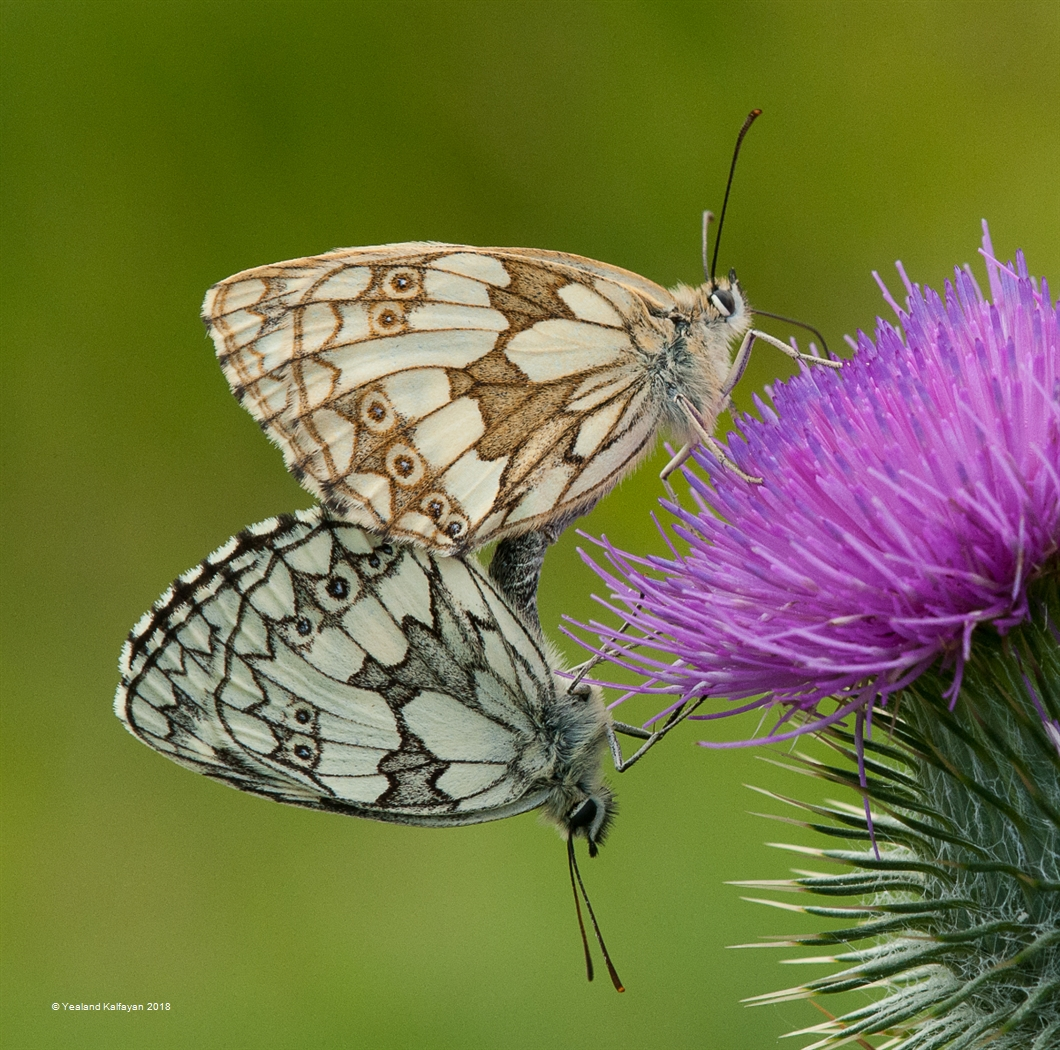 Marbled White Butterflies Pairing on Thistle