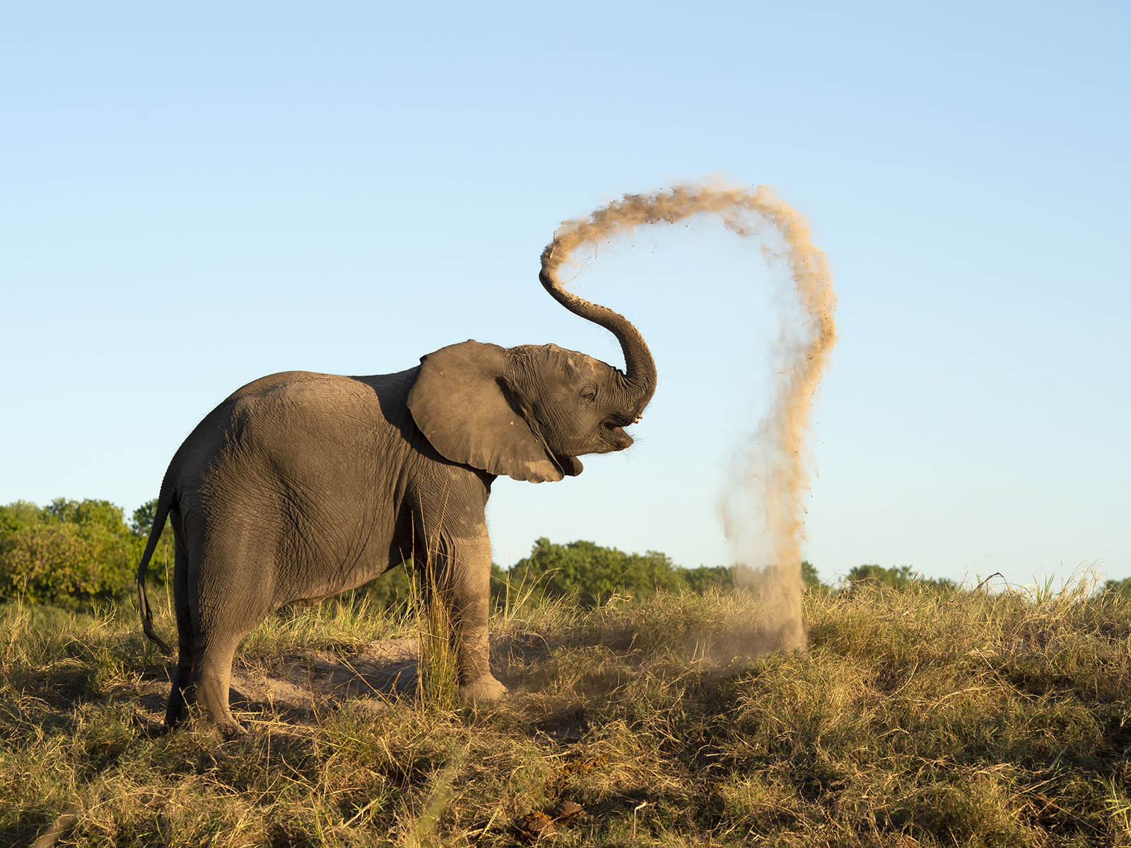 African Elephant Dusting