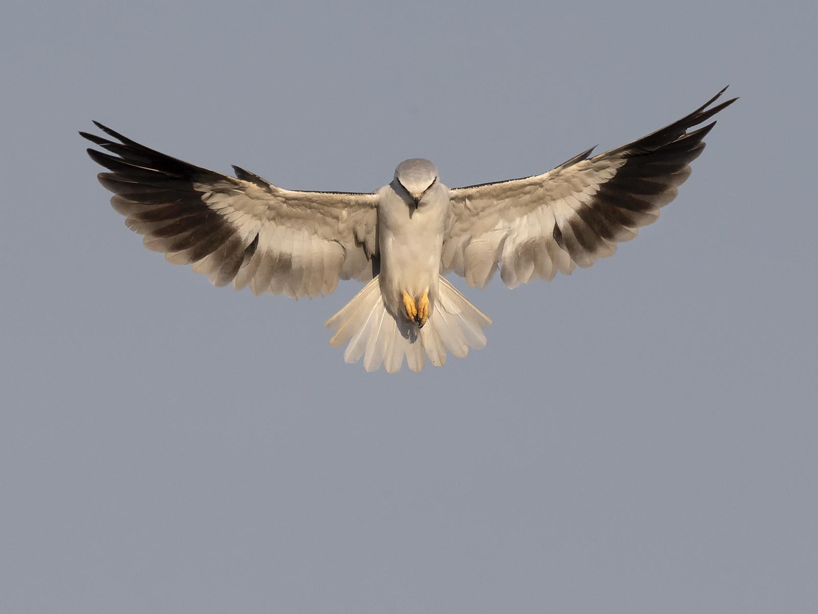 Black Shouldered Kite Hovering