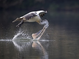 Spoon Billed Pelican Drinking Mid Flight by Koshy Johnson FRPS