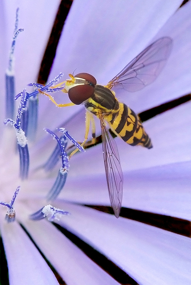 Hoverfly © Mike Moats